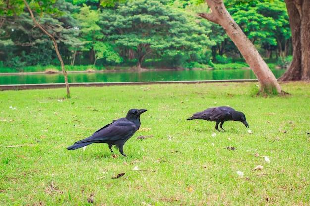 Czarny carrion crow (corvus corone).