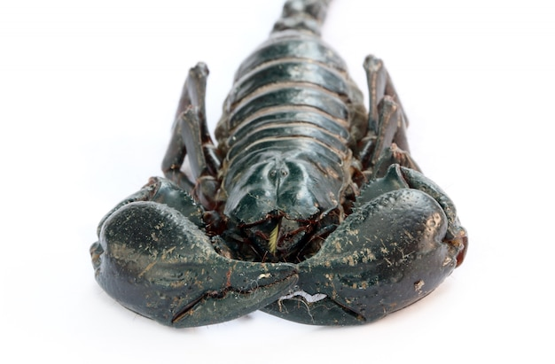 Czarny cesarz skorpion