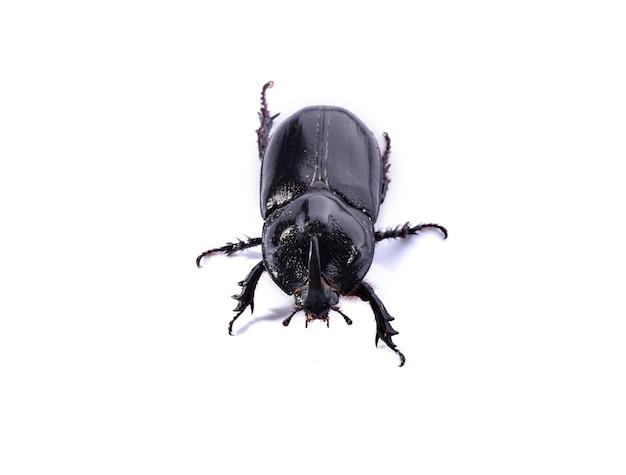Czarny chrząszcz na białym tle