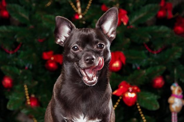 Czarny dogchihuahua patrząc na kamery na tle choinki