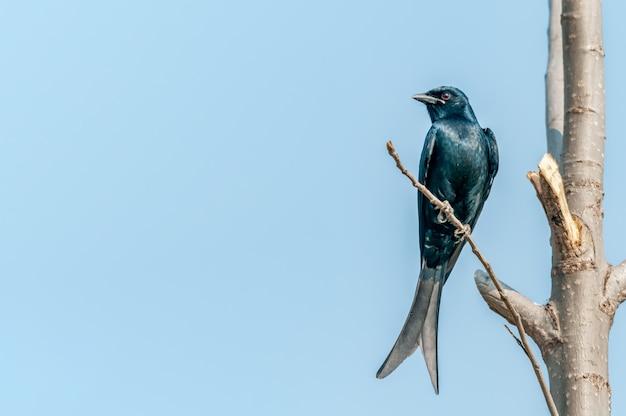 Czarny drongo siedzi na gałęzi drzewa przeciw błękitne niebo