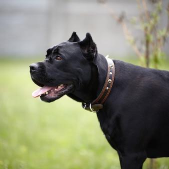 Czarny duży pies.