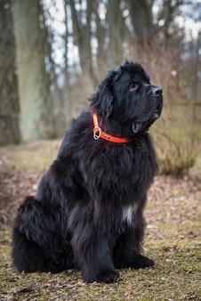 Czarny gigantyczny pies nowofundlanda na wiosnę natury. to duży pies pracujący