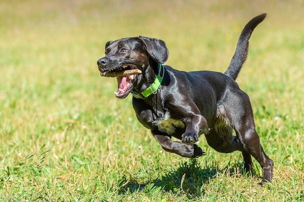 Czarny gładkowłosy pies biega z kijem w zębach po zielonej trawie, jasny słoneczny dzień