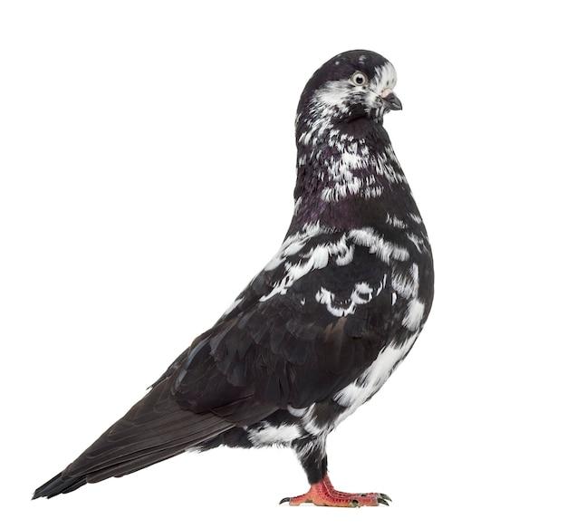Czarny gołąb wywrotka na białym tle