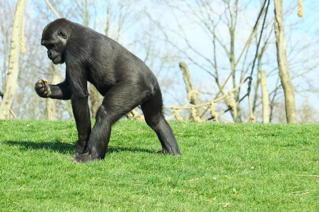 Czarny goryl chodzenie na zielonej trawie w ciągu dnia