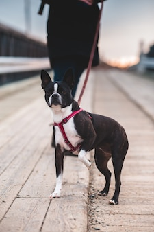 Czarny i biały boston terrier na drodze podczas dnia