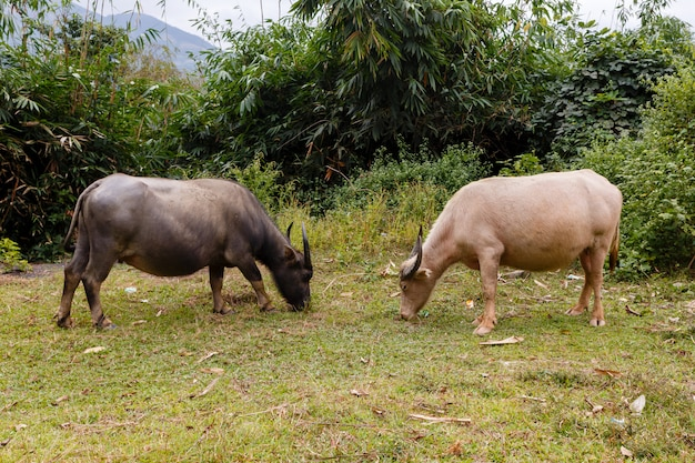 Czarny i biały wietnamski wodny bizon je trawy