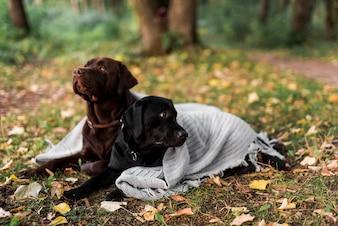 Czarny i brown labradora lying on the beach na trawie z białym szalikiem