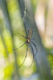 Czarny i żółty pająk w sieci