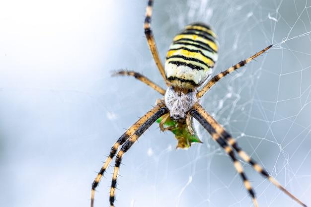 Czarny i żółty pasek argiope bruennichi osy pająk w sieci web.