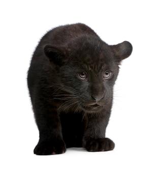 Czarny jaguara lisiątko, panthera onca, odizolowywający na bielu