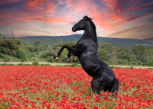 Czarny koń ogier wychowany w maku