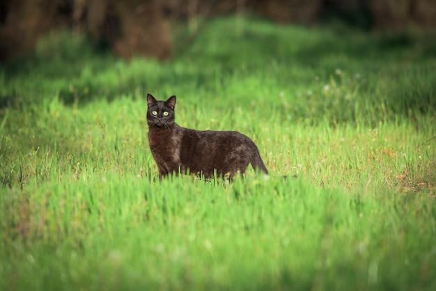 Czarny kot ratuje prześladowanie na trawie