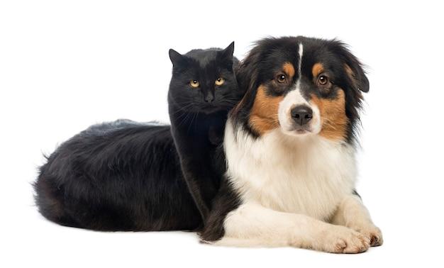 Czarny kot stojący nad owczarek australijski leżący, na białym tle