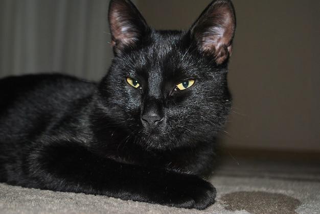 Czarny kot z żółtymi oczami leży na podłodze na dywanie i patrzy w kamerę. tło jest rozmyte