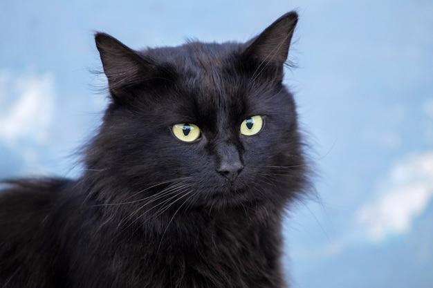 Czarny kot z żółtymi oczami na niebieskim rozmytym tle