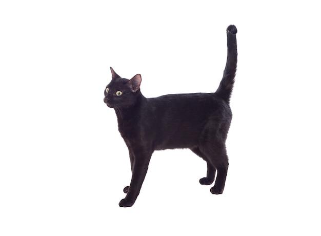 Czarny kot z żółtymi oczami