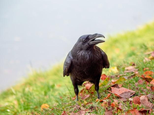 Czarny kruk na trawie z otwartym dziobem patrzy w kamerę.