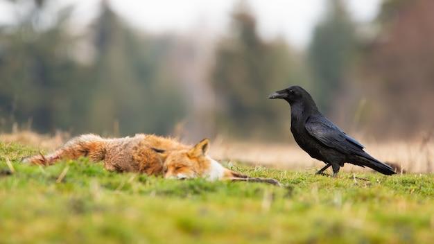 Czarny kruk zbliża się do martwego lisa rudego.