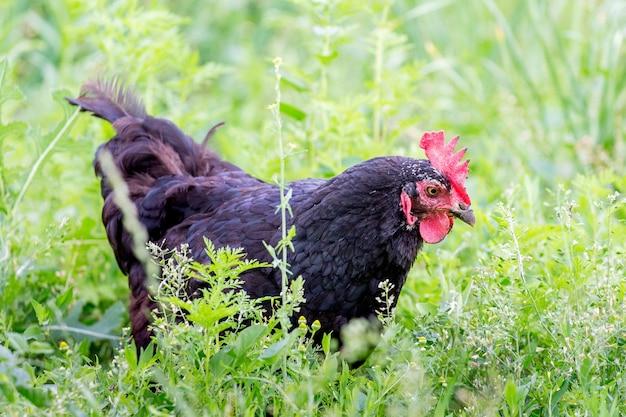 Czarny kurczak w ogrodzie gospodarstwa na zielonej trawie