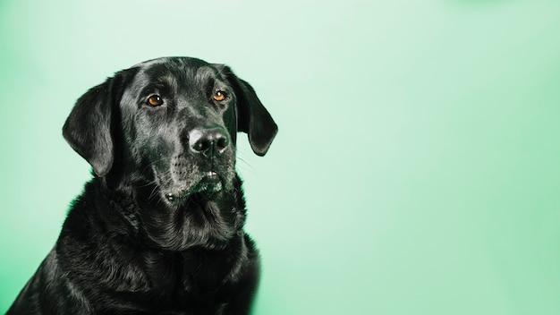 Czarny labrador na zielonym tle