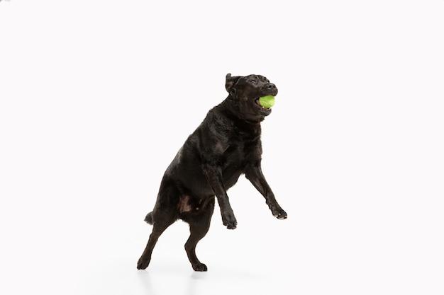 Czarny labrador retriever bawi się