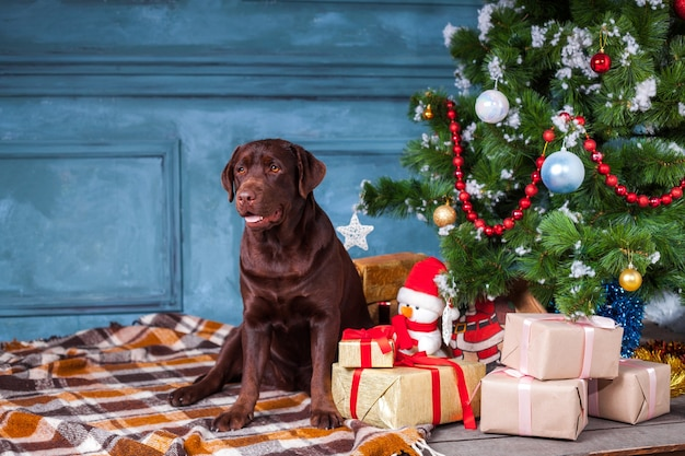 Czarny labrador retriever siedzi z prezentami na ozdób choinkowych