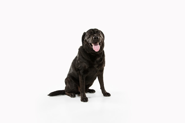 Czarny labrador retriever zabawy. śliczny figlarny pies lub zwierzę rasowe wygląda figlarnie i uroczo na białym tle