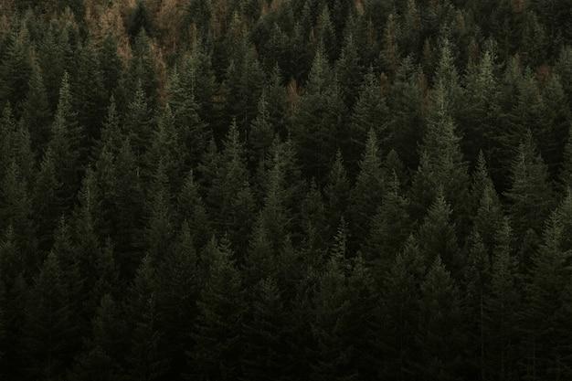 Czarny las z iglastymi, wiecznie zielonymi drzewami