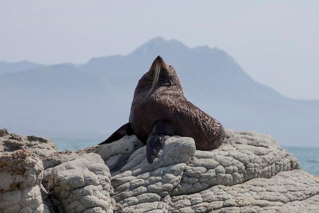 Czarny lew morski w kaikoura w nowej zelandii