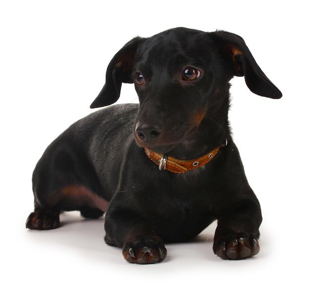 Czarny mały pies jamnik na białym tle