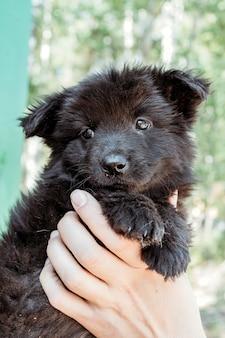 Czarny mały szczeniak w rękach dziewczynki.