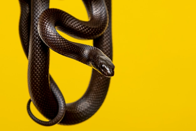 Czarny meksykański wąż królewski (lampropeltis getula nigrita)