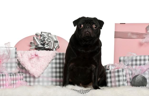 Czarny mops pies z świątecznymi pudełkami
