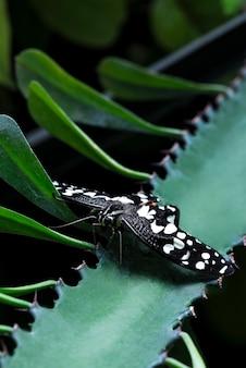 Czarny motyl na aloesie