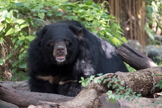 Czarny niedźwiedź