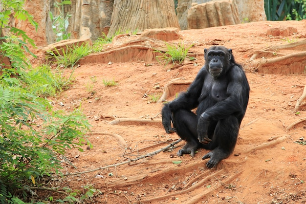 Czarny orangutan