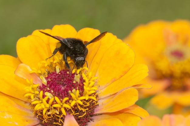 Czarny owad siedzi na żółty kwiat