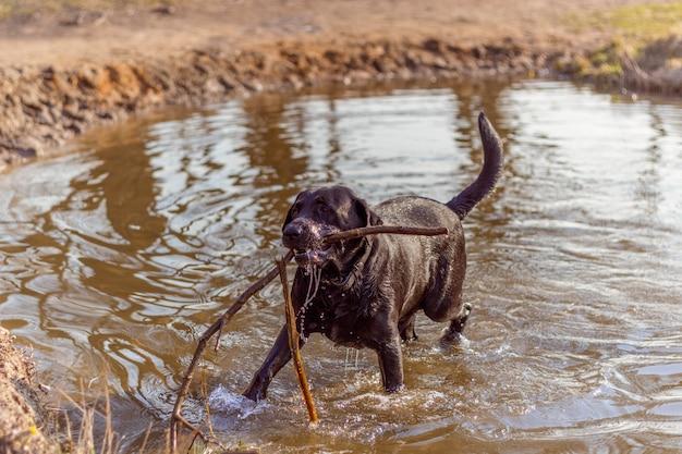 Czarny pies bawi się w wodzie z kijem drzewa na brzegu jeziora w promieniach słońca na wiosnę