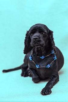 Czarny pies cocker spaniel amerykański leży, ubrany w niebieskie koraliki. niebieska powierzchnia, selektywna ostrość.