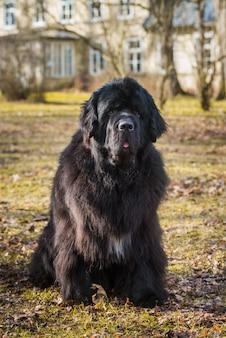 Czarny pies gigantyczny rozmiar nowofundlanda zbliżenie na zewnątrz