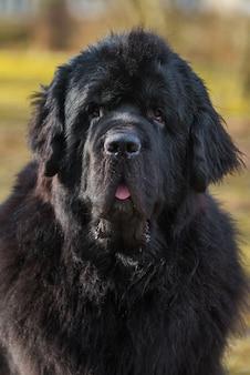 Czarny pies gigantyczny rozmiar nowofundlanda zbliżenie patrząc na kamery na wiosnę natura. to duży pies pracujący
