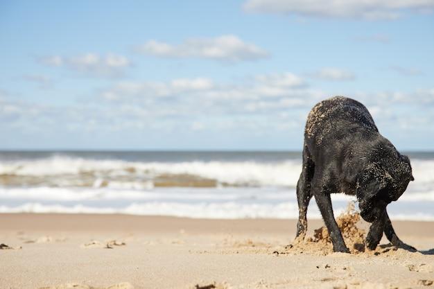 Czarny pies kopie dziurę w piasku pięknej plaży. wielkie fale i błękitne niebo.