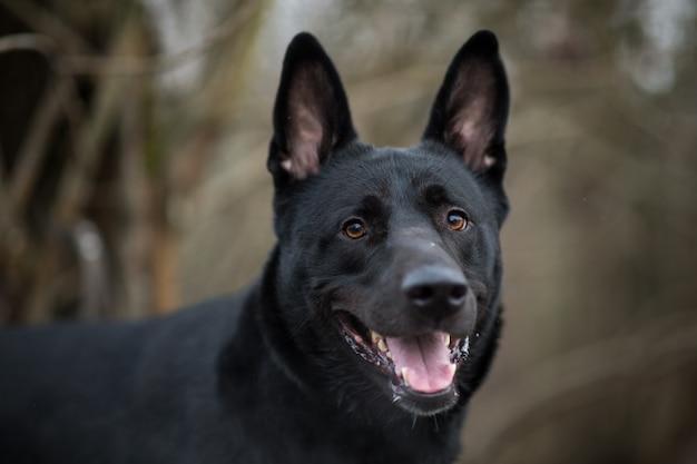 Czarny pies kundel stojący na zimowej łące i patrząc na kamery