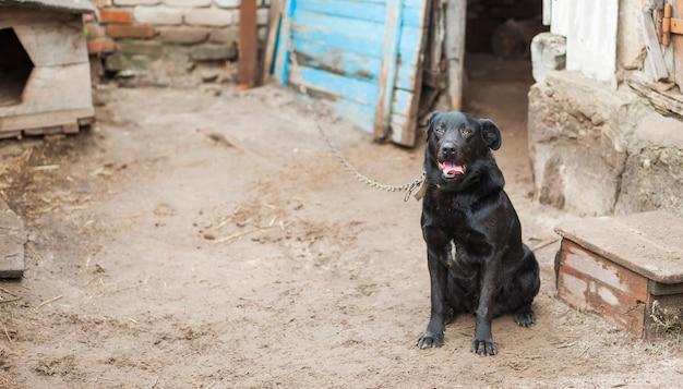 Czarny pies na łańcuszku