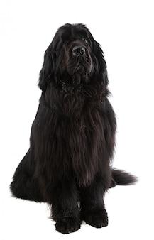 Czarny pies nowofundland na białym tle