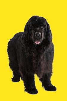 Czarny pies nowofundlanda na żółtym tle