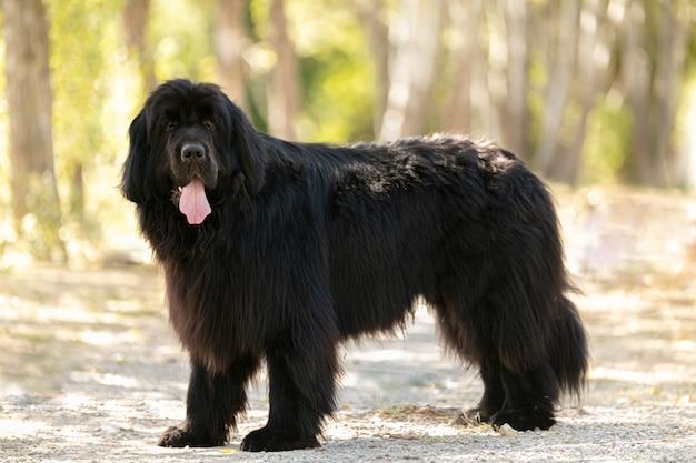 Czarny pies nowofundlanda w parku