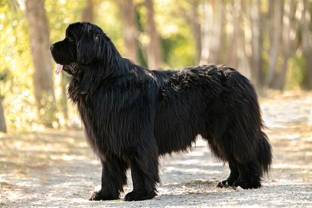 Czarny pies nowofundlandzki stojący